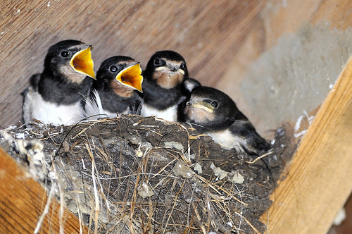 Juvenille Barn swallows waiting to be fledged