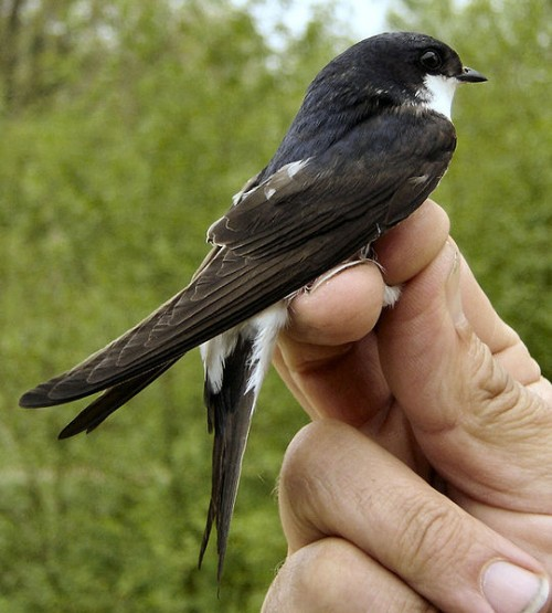 The Common House Martin can be found in Europe, Asia, and Africa