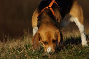 Beagles are scent hounds