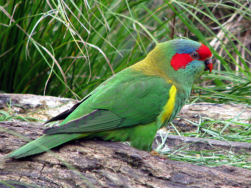 Musk Lorikeets are colourful