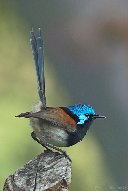 A male red-winged fairywren