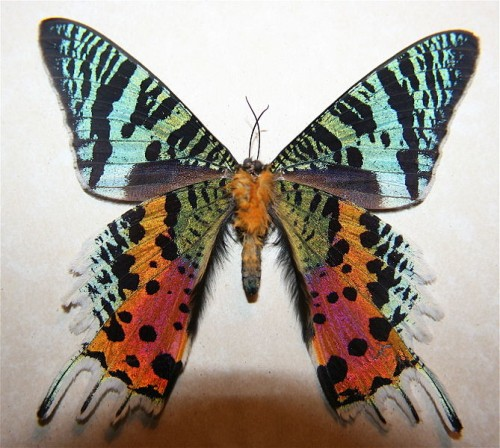 The underside of the Madagascan Sunset Moth