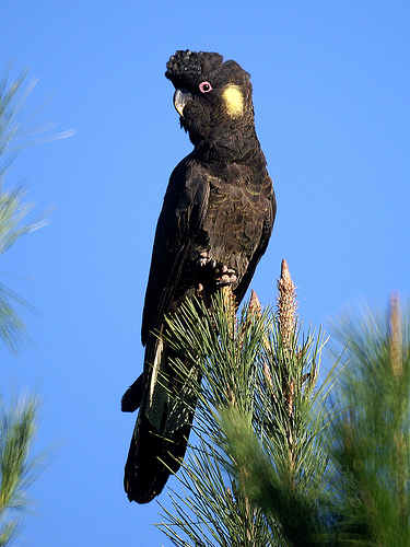 The Yellow-tailed Black Cockatoo is found in Australia