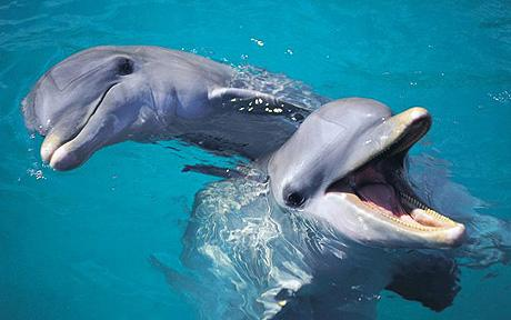 A pair of friendly Common Bottlenose Dolphins