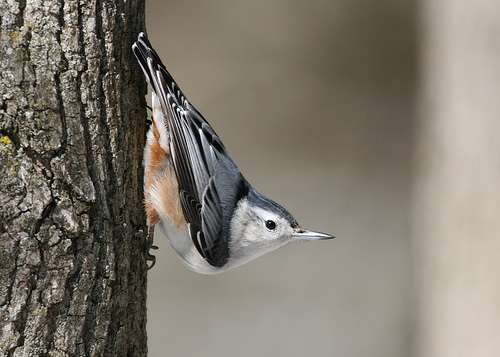 A White-breasted Nuthatch going down a tree