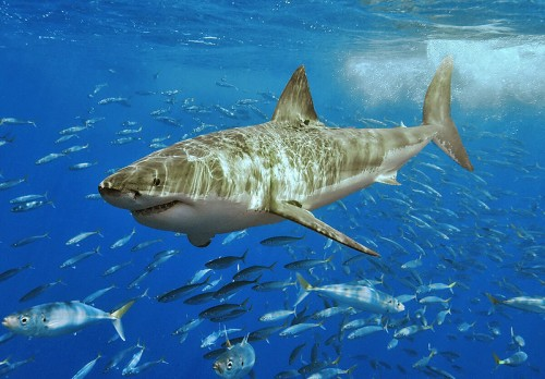 Sadly, this legendary shark is now endangered off the California coastline