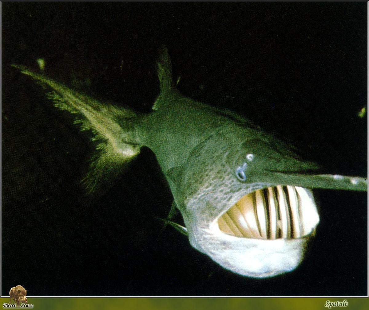 The American Paddlefish swims with it's mouth open constantly to filter plankton