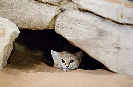 Sand Cat in a shelter, avoiding the desert heat