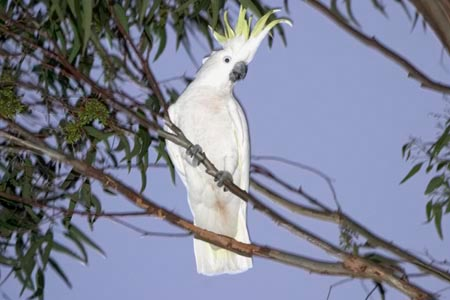 Sulfur-crested Cockatoo in a tree