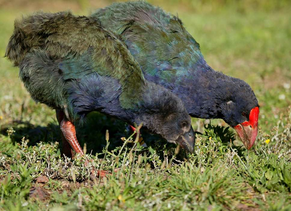Takahe chicks have a black beak, while adults' is red