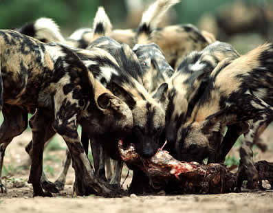 African Wild Dog pack sharing a meal