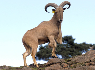 Like all mountain sheep, the Barbary sheep is an excellent climber