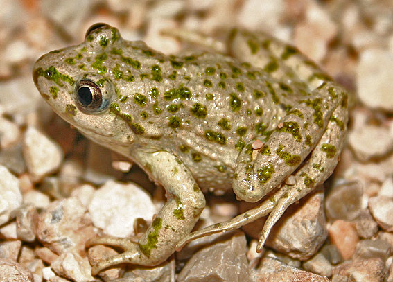 The toad's colouration provides with great camouflage in sandy areas