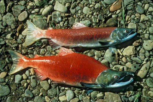 2 sockeye salmon species