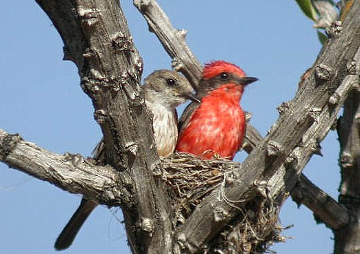 A pair of Vermilion Flycatchers in their nest
