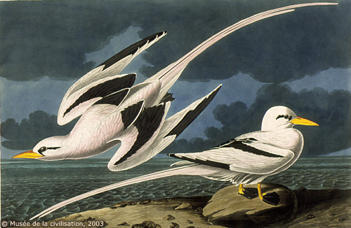 A drawing, showing the elegance of White-tailed Tropicbirds