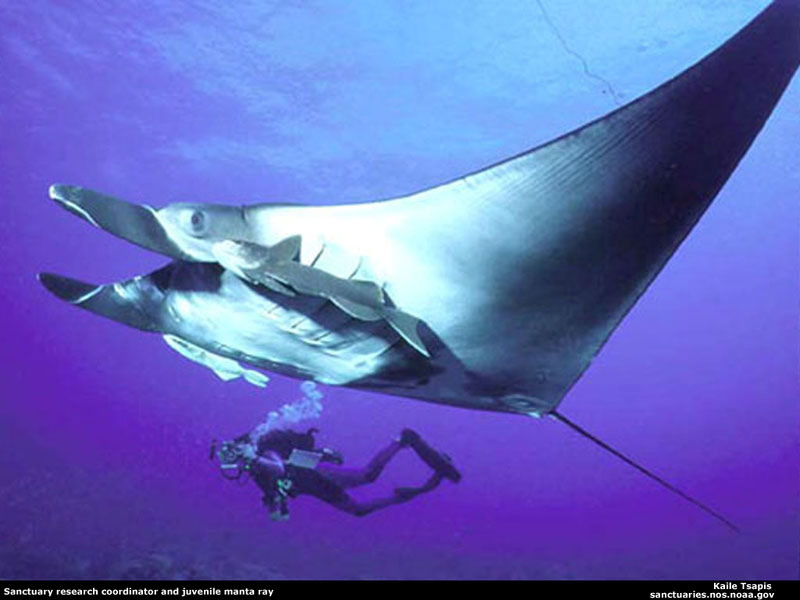 The collossal Manta Rays have been a subject to superstition for centuries
