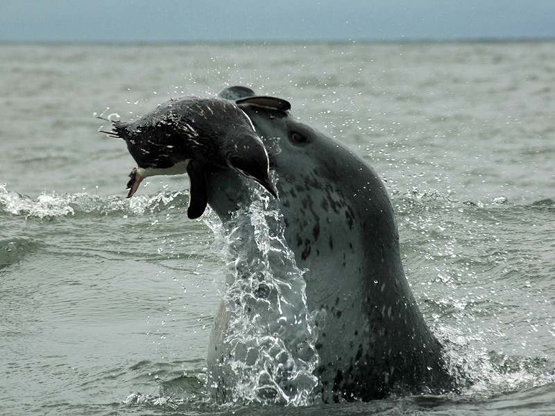 Leopard Seals feed mostly off seals, ruthlessly tearing them into small pieces