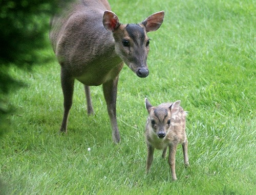 A Muntjac mother with her calf