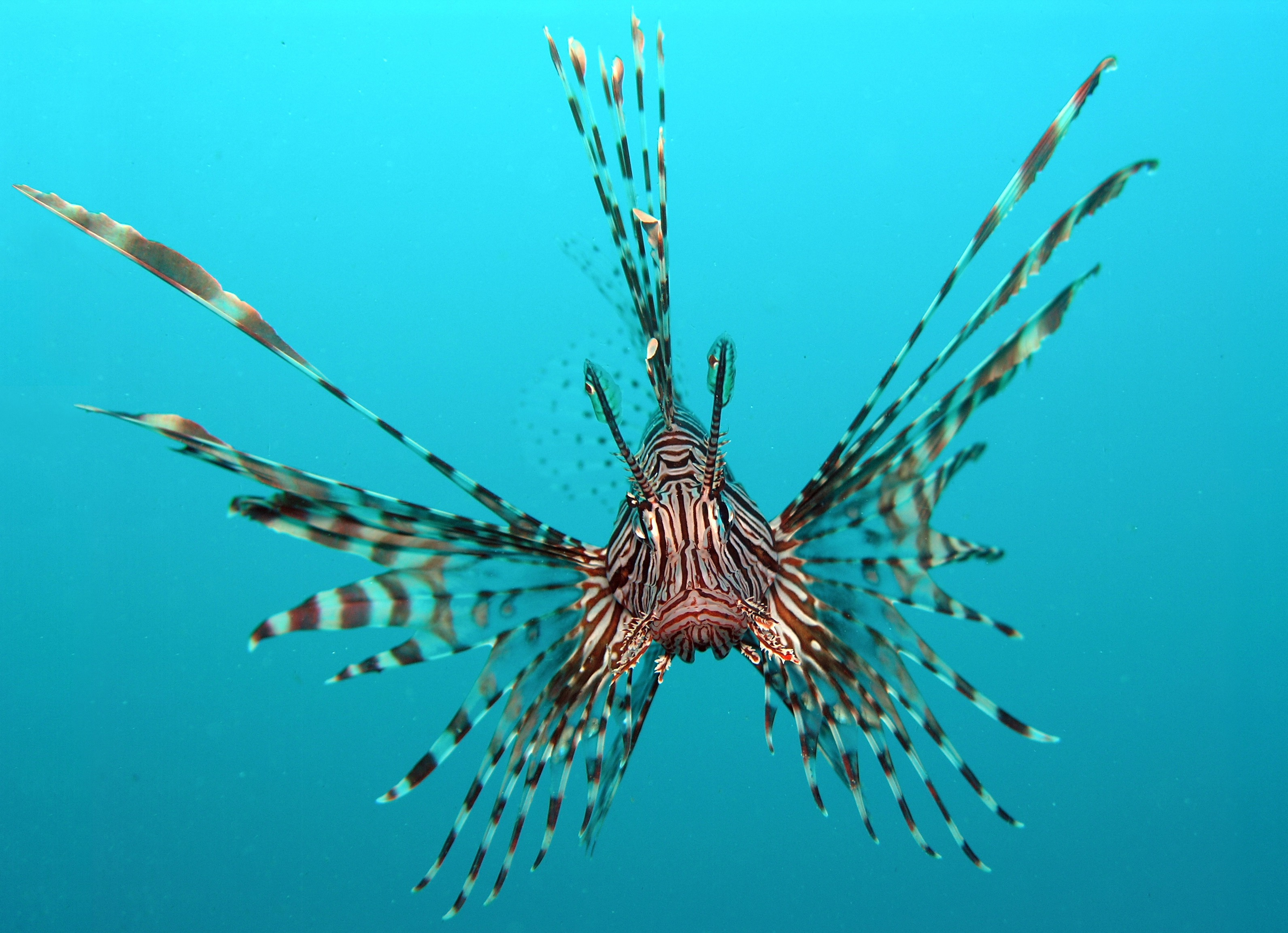 The Red Lionfish have a truly spectacular appearance, but in fact they're very dangerous creatures
