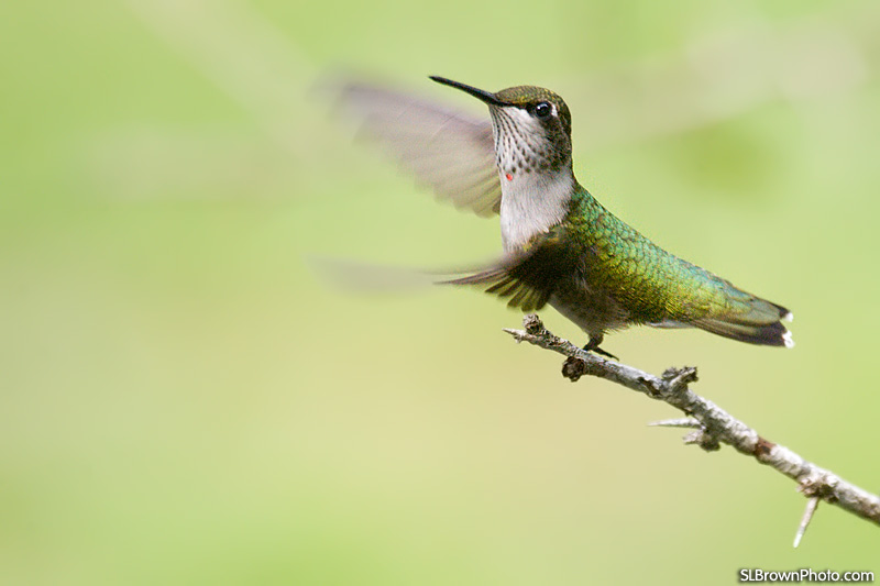 Some species of the hummingbirds can flap their wings as many as 78 times per second