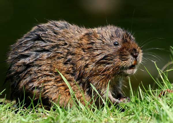 "Although known also as ""water rats"", the Water Voles don't hold a close similarity to rats"