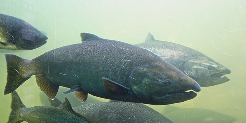 Several Chinook Salmon