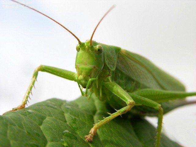 Great Green Bush-cricket – Tettigonia viridissima - Insects