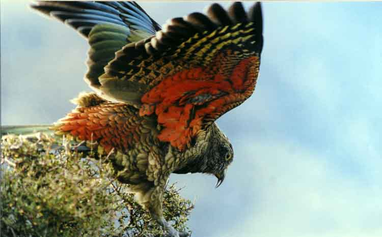 Kea's red underwing can be seen when the bird is in flight