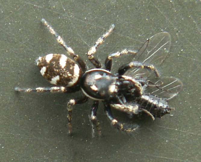 A Zebra Spider can easily catch almost any bug