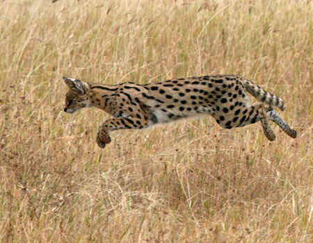 Serval's attacks rely on the element of surprise, and the cat often jumps to reach the prey quicker