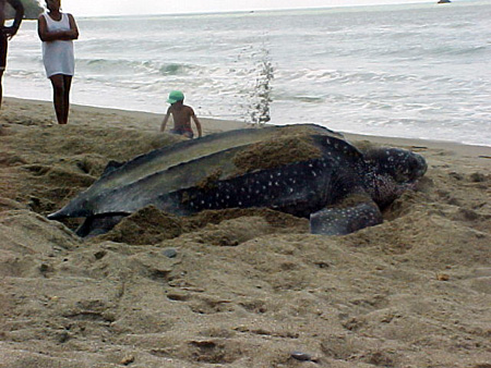 A Leatherback Turtle laying eggs on a beach