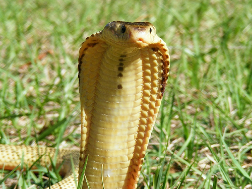 Spitting Cobra may look innocent but is deadly