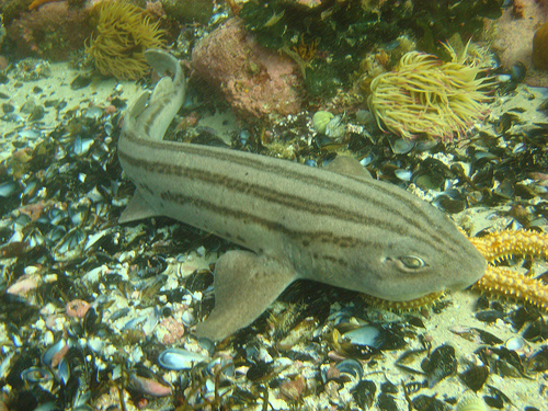 Carpet sharks are found at the bottom of the ocean floor