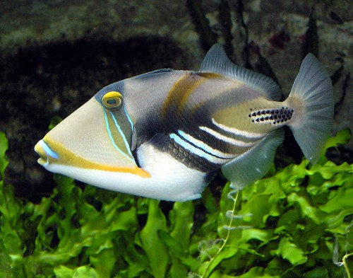 The Picasso or Lagoon Triggerfish