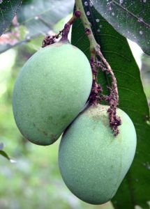 The mango is native to South Asia