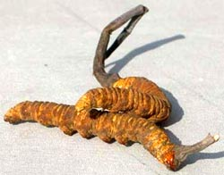 Cordyceps sinensis is used for a variety of health reasons