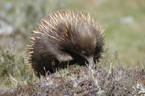 A short-beaked echidna in the wild