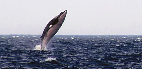 Being so fast and agile, Minke Whales can easily attain enough speed to jump out of the water