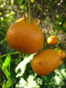 Tangerines growing on a tree