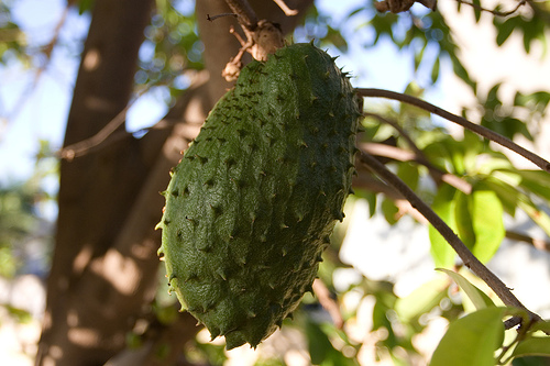 The Soursop has green, prickly fruit