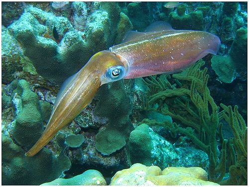 A bonaire reef squid