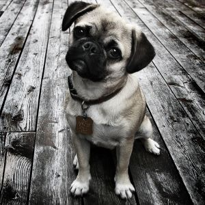 Pug puppies are called puglets