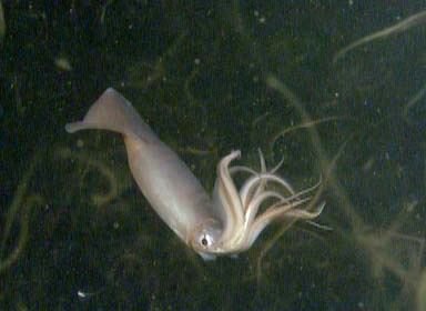 Don't be fooled - this squid is a fearsome predator