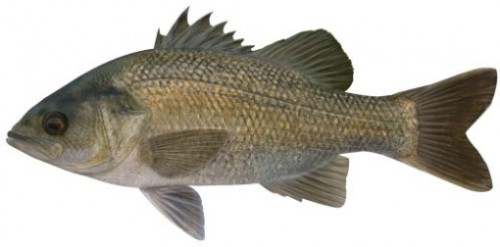 The Australian Bass is iconic