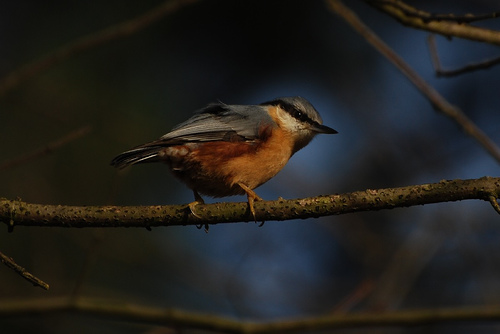 There are many varieties of nuthatches