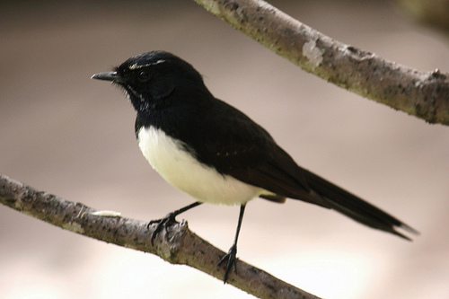 The Willie Wagtail is found in Australasia