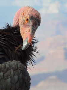The California Condor is the largest land bird in North America