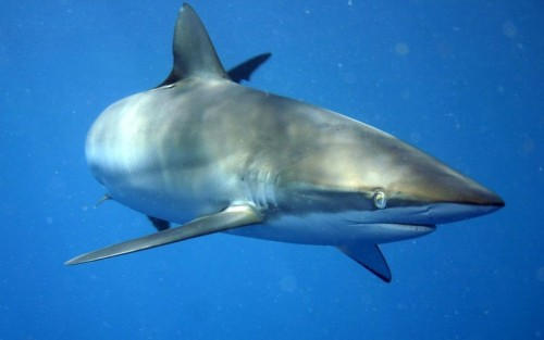 Silky sharks are highly migratory