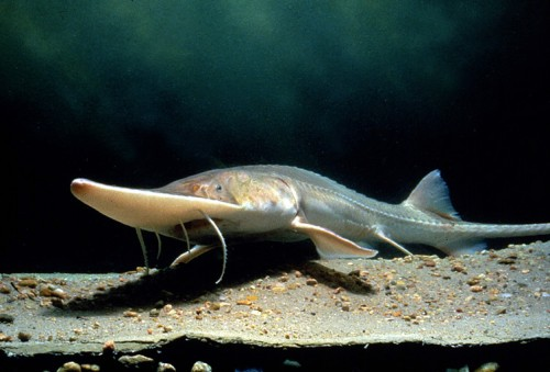 The Pallid sturgeon is endemic to the USA